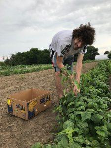 Volunteer gleaning