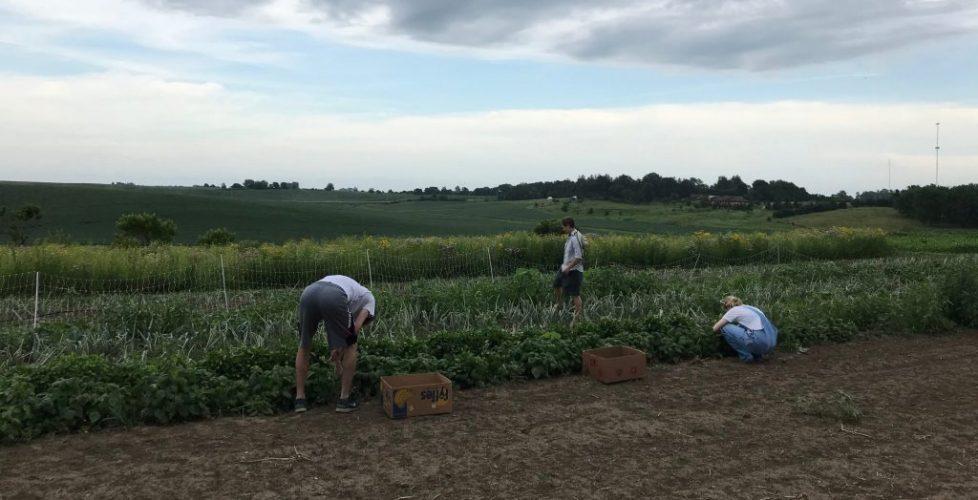 gleaning volunteers harvest vegetabes from Scattergoods Farm