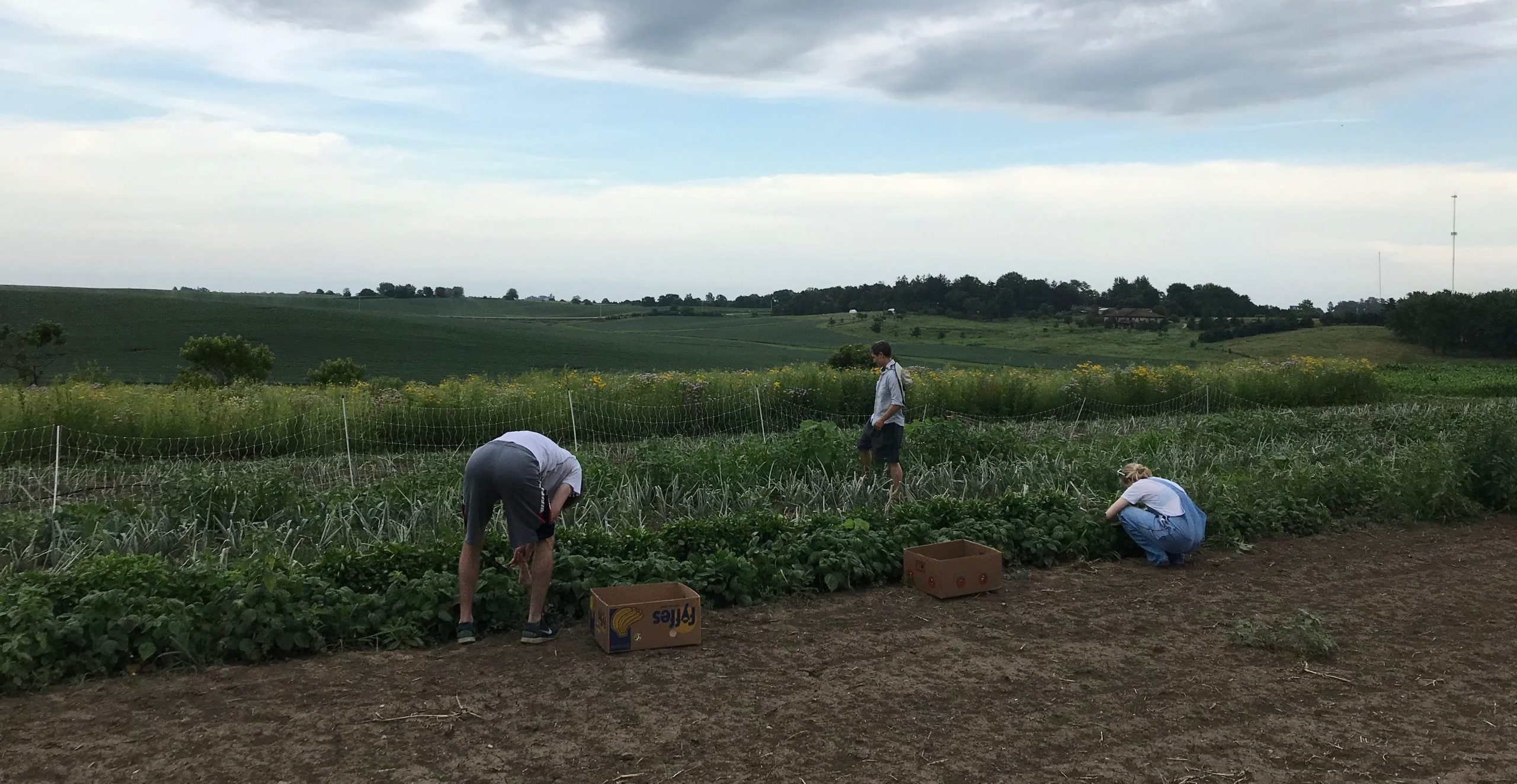 gleaning volunteers harvest vegetabes from Scattergoods Farm